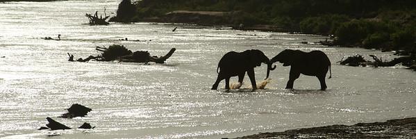 African elephants playing in the River at Sambura, Kenya
