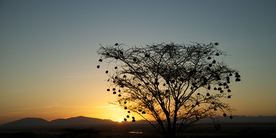 African sunrise - Acacia tree decorated with Weaver Nests. Sambura Game Preserve, Kenya