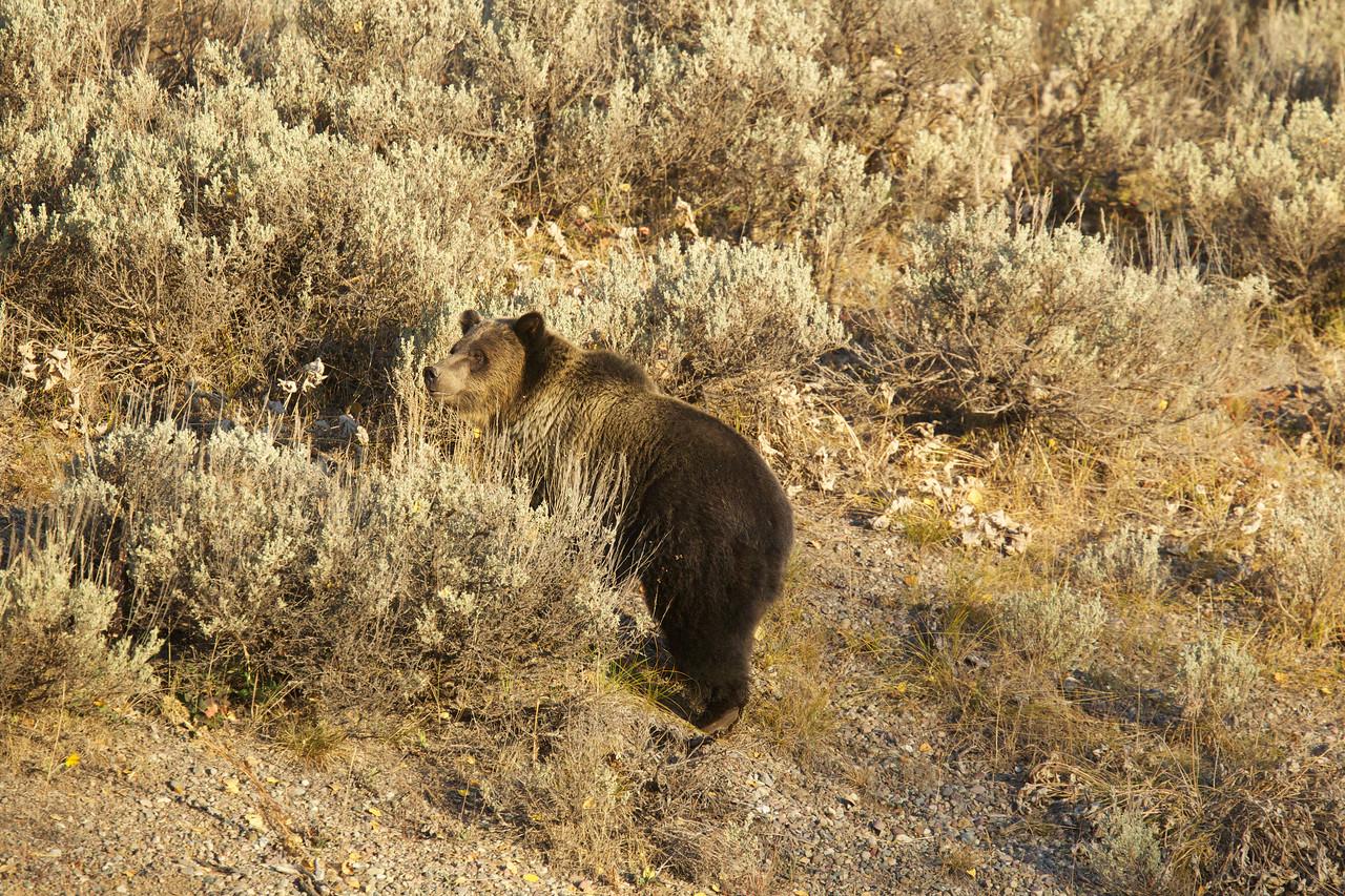 Grizzly Bear - Jackson Hole, WY