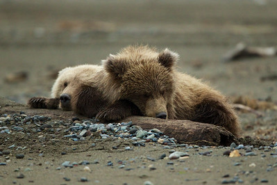 The two cubs after nursing take a nap.