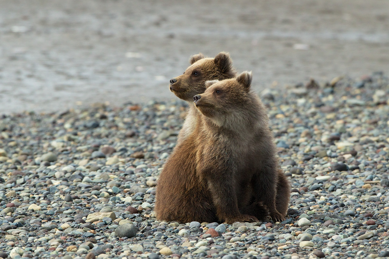 Two cute cubs watch their mother catch a salmon for dinner.