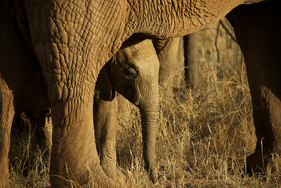 Mother and child reunion - African Elephants - Samburu Game Preserve, Kenya