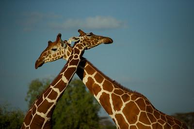 Giraffes - Sambura National Reserve