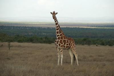 Rothchilds Giraffe - Ol Pejeta Conservancy, Kenya