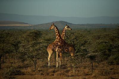 Two male Rothchild Giraffes preparing to fight over territory. Sambura Park, Kenya