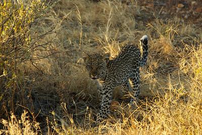 Leopard cub - Sambura Game Preserve, Kenya