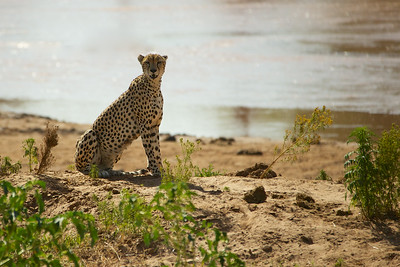 Cheetah - Sambura Game Preserve, Kenya