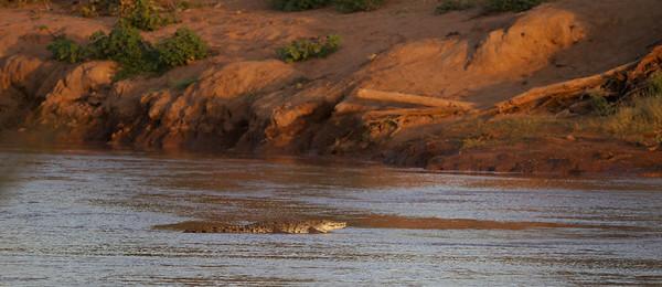 Nile Crocodile sunning itself