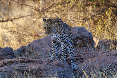 Leopard - Sambura Game Preserve, Kenya