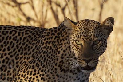 Female Leopard - Sambura National Reserve, Kenya