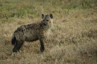 Spotted Hyena - Lake Naivasha, Kenya