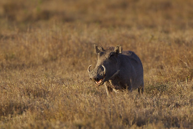 Wart hog - Ol Pejata Conservancy, Kenya