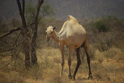 Camel - Sambura Game Preserve, Kenya