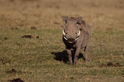 Wart hog - Ol Pejeta Conservancy, Kenya