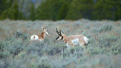 Male Pronghorn Sheep protects his harem.