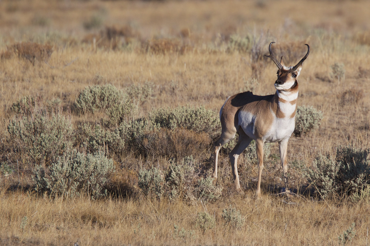 Pronghorn - Buck.