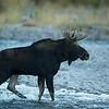 Bull Moose.