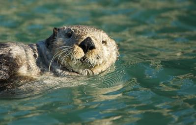 Otter near Duck Island, Cook Inlet, AK.