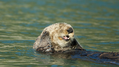 """""""Two Otters walk into a clam bar....."""""""