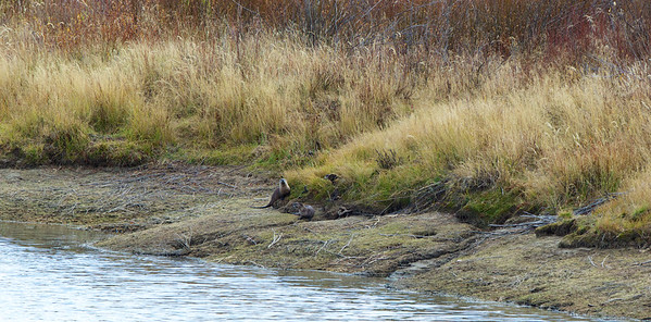 A group of  River Otters frolic at the Oxbow Bend.