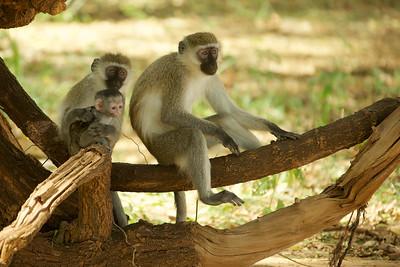 Vervet Monkeys - family.
