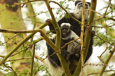 Colobus Monkey with Baby