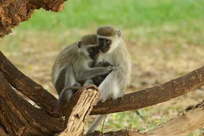 Vervet Monkeys -  Sambura Game Preserve, Kenya