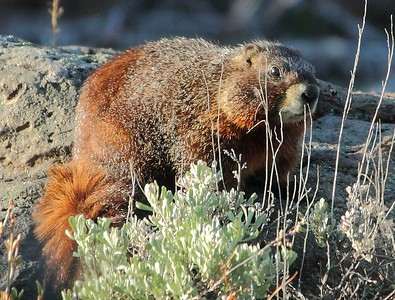 "A Yellow-bellied Marmot is a member of the rodent family. Also called the ""rock chuck"" and ""whistle pig""."