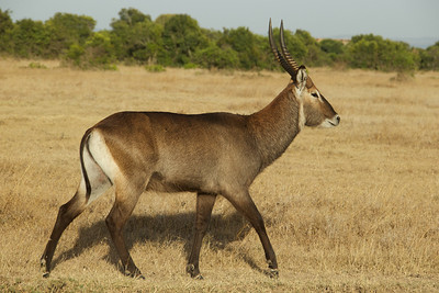 Waterbuck - male
