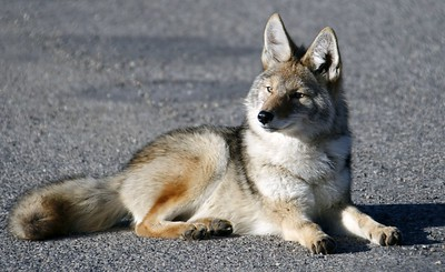 Coyote Pup at Tower Junction, Yellowstone Park