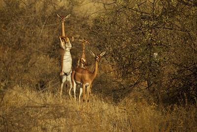 Gerenuk - Sambura Game Preserve, Kenya