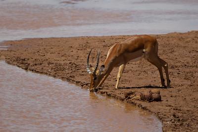 Impala, Samburu National Reserve, Kenya