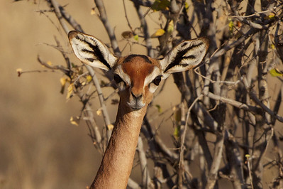 Gerenuk, female