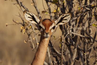 Gerenuk, female