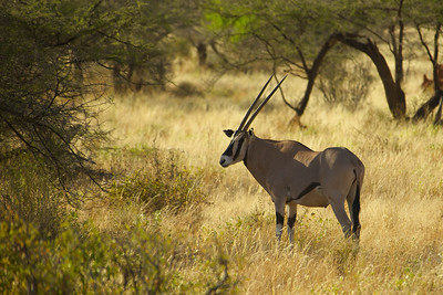 Oryx - Sambura Game Preserve, Kenya