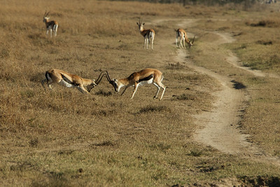 Thomson's Gazelle's fighting, males