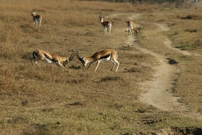 Thomson's Gazelle's fighting, males
