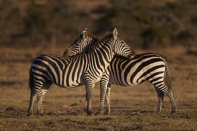 "Zebras - Ol Pejeta Conservancy, Kenya    ""You scratch my back..."""
