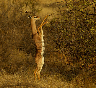 Gerenuk, Male
