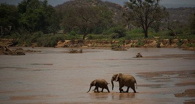 African Elephants - Female and juvenile