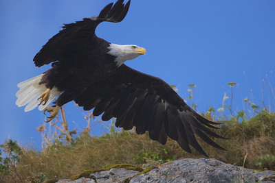 Bald Eagle flys to his mate in Kukak Bay off the coast of Katmai National Park, Alaska