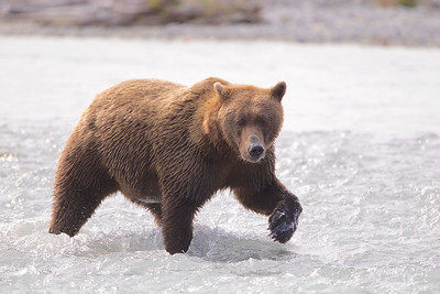 Female Coastal Brown Bear - called a Sow - fishes off the coast of Katmai National Park, Alaska