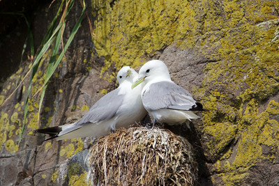 Pair of Black Legged Kittiwakes, Kukak Bay off the coast of Katmai National Park, Alaska