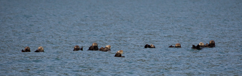 A raft of Otters in Kukak Bay off the coast of Katmai National Park, Alaska