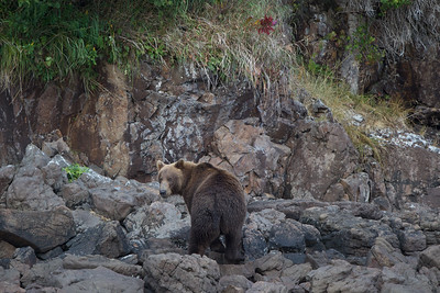 A Coastal Brown Bear patrols the shoreline  of Kukak Bay off the coast of Katmai National Park, Alaska