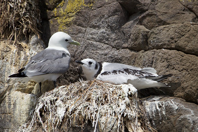 Black Legged Kittiwake with baby (right) - Kukak Bay off the coast of Katmai National Park, Alaska