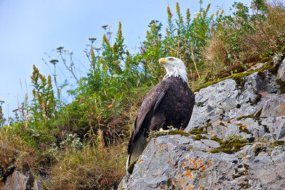 An eagle keeps an eye out for his mate. Taken in Kukak Bay off the coast of Katmai National Park, Alaska