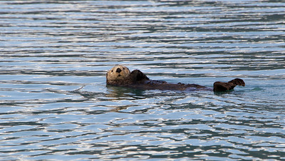 The life of a Sea Otter - Kukak Bay off the coast of Katmai National Park, Alaska
