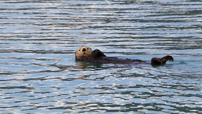 The life of a Sea Otter - Kukak Bay off the coast of Katmai National Park, Alaska