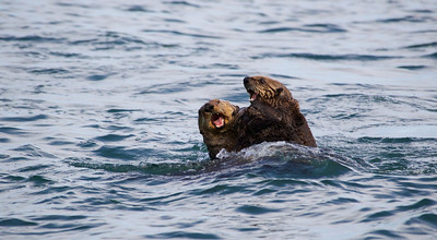 Two Otters play fight in Kukak Bay off the coast of Katmai National Park, Alaska